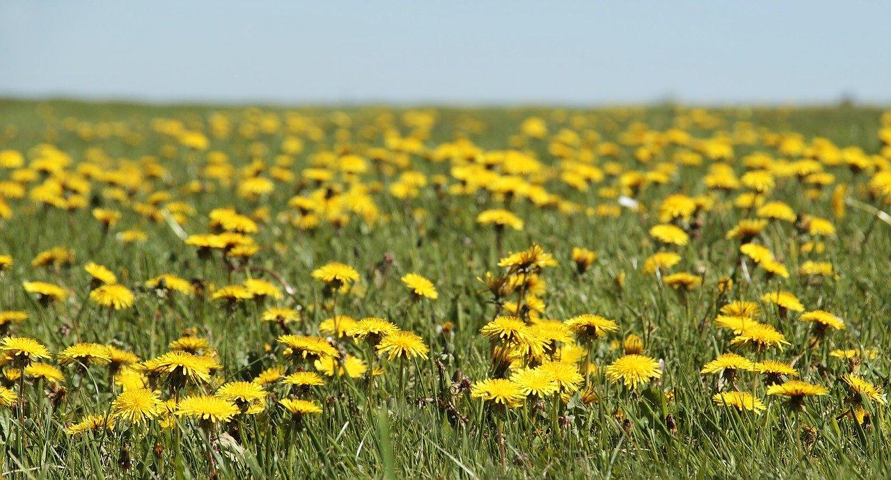 Löwenzahn Feld Blumen Sonne Sommer Kräuter